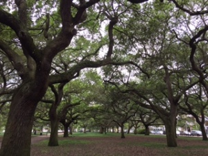 Oak Trees in Battery Park